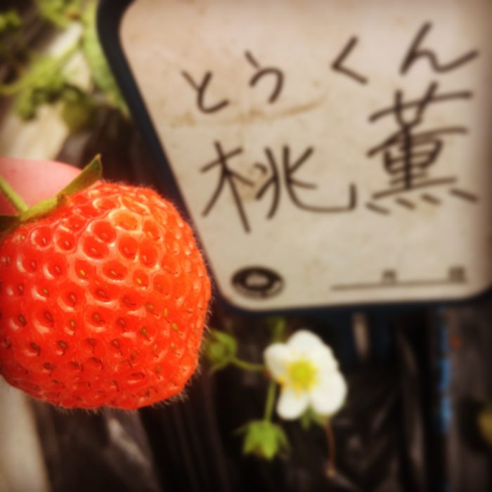 近藤いちご園 桃薫